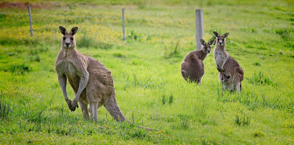 Of Kangaroos and Leadership
